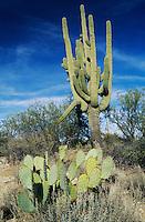 Saguaro Cactus (Carnegiea gigantea), and prickly pear cactus, Saguaro National Park, Tucson, Arizona, USA,