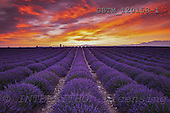 Tom Mackie, LANDSCAPES, photos, Europe, European, France, Provence, Valensole, atmosphere, atmospheric, dramatic outdoors, fieldField of Lavender at Sunrise, Valensole Plain, Alpes d, GBTM120158-1,#L#