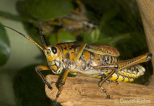 0404-0838  Eastern Lubber Grasshopper - Romalea guttata © David Kuhn/Dwight Kuhn Photography