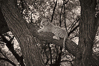 Leopards in Sepia