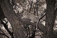 Leopards in Sepia
