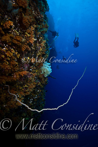 A delicate hard coral branch extends from the wall, as the divers disappear into the distance, Palau Micronesia. (Photo by Matt Considine - Images of Asia Collection) (Matt Considine)