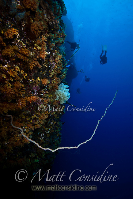A delicate hard coral branch extends from the wall, as the divers disappear into the distance, Palau Micronesia. (Photo by Matt Considine - Images of Asia Collection)