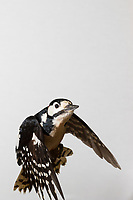 Buntspecht, Flug, Flugbild, fliegend, Bunt-Specht, Specht, Spechte, Dendrocopos major, Picoides major, Great spotted woodpecker, flight, flying, Pic épeiche
