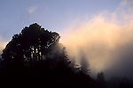 Fog at sunset passing through pine forest at the crest of the Berkeley Hills, CALIFORNIA