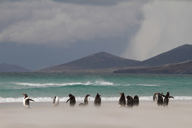 Gentoo Penguins stand in blowing sand on a stormy beach with a snow shower on the hills behind. The Neck, Saunders Is. The Falklands