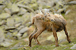Alpine Ibex shedding fur (Capra ibex), Alps, Italy