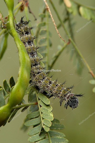 A stinging Juno Buckmoth Caterpillar, Hemileuca juno, in a Mesquite tree; Sonoran Desert, Arizona.