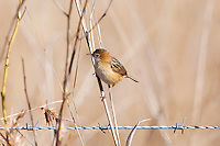 Golden-Headed Cisticola, Mareeba Wetlands, Queensland, Australia
