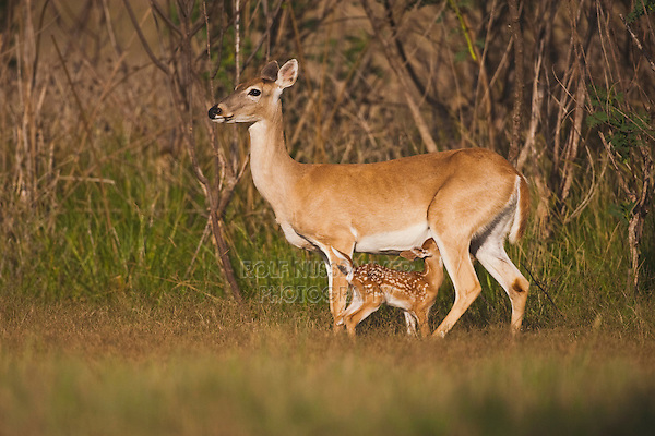 White-tailed Deer (Odocoileus virginianus), Mother with fawn suckling, Sinton, Corpus Christi, Coastal Bend, Texas, USA