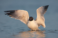 Laughing Gull (Larus atricilla) bathing