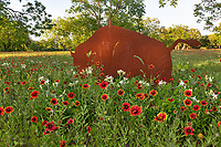 Buffalo and Wildflowers- One of the wonderful metal sculpture of a bison or buffalo cutout at this ranch with these indian blanket wildflowers in the Texas Hill Country.