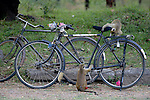 Toque Macaques Investigating Bicycle