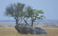 Cheetah settles in to his overnight boulder accommodations, Central Serengeti