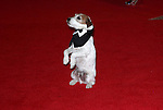 """Uggie  """"the Artist"""".attending the 98th Annual White House Correspondents' Association Dinner at the Washington Hilton on April 28, 2012 in Washington, DC."""
