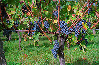 bunches of grapes ripe merlot on a vine with leaves leaf in Bergerac near Bordeaux, Gironde Aquitaine France Europe
