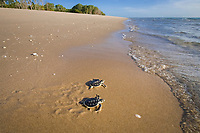Australian flatback sea turtle hatchlings, Natator depressus (c-r), endemic to Australian continental shelf, crawl down nesting beach to ocean, Crab Island, Torres Strait, Queensland, Australia