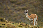 Guanaco (Lama guanicoe) in rainfall, Torres del Paine National Park, Patagonia, Chile