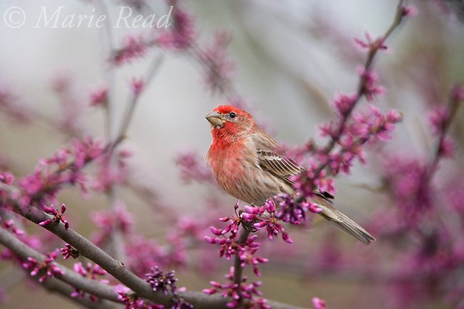 House Finch (Carpodacus mexicanus) male perched in flowering eastern redbud in spring, New York, USA
