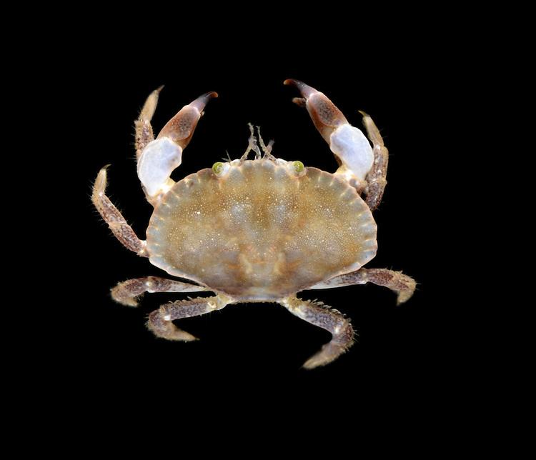Edible Crab - Cancer pagurus - Juvenile
