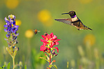 Black-chinned Hummingbird at Flowers
