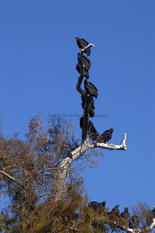 Black vultures, Coragyps atratus, hang out together.