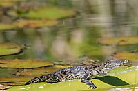 baby Morelet's crocodile, Belize, Caribbean, Atlantic crocodile, or Central American crocodile, Crocodylus moreletii, basking on bamboo raft, Cabbage Hole Creek, Stann Creek District, Belize, Caribbean, Atlantic, Central America, Caribbean, Atlantic