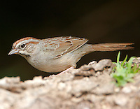 Rufous-crowned sparrow adult side view