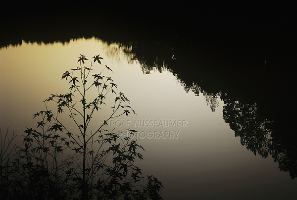 American Sweetgum (Liquidambar styraciflua), tree silhouetted at ponds edge at dusk,  Raleigh, Wake County, North Carolina, USA