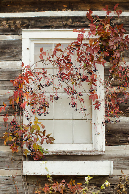 Woodbine or Virginia Creeper covers a cabin window at the Grand View Landtrust Park in Door County, Wisconsin