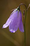 Blue Harebell wildflower