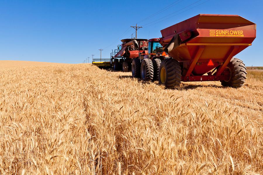 A Sunflower branded grain trailer sits in a wheat field.