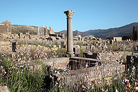 View of Volubilis seen from the bakers and public oven, with a prominent column with a Corinthian capital, Volubilis, Northern Morocco. Volubilis was founded in the 3rd century BC by the Phoenicians and was a Roman settlement from the 1st century AD. Volubilis was a thriving Roman olive growing town until 280 AD and was settled until the 11th century. The buildings were largely destroyed by an earthquake in the 18th century and have since been excavated and partly restored. Volubilis was listed as a UNESCO World Heritage Site in 1997. Picture by Manuel Cohen