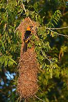 Altamira Oriole (Icterus gularis), adult at hanging nest, Laguna Atascosa National Wildlife Refuge, Texas, USA