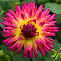 Dahlia 'Weston Stardust', mid August.
