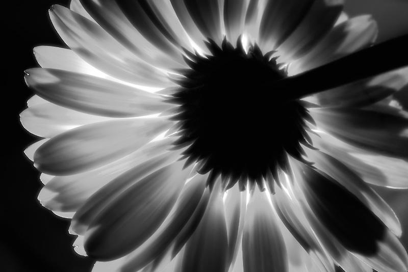 Backlit Gerbera flower.