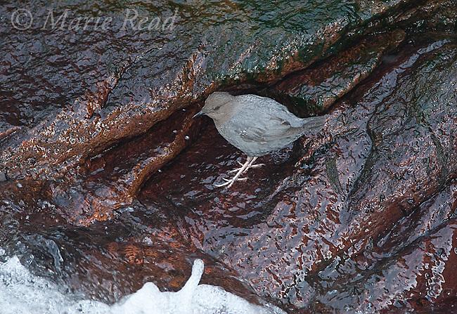 American Dipper (Cinclus mexicanus), on a rock near water's edge, Mono Lake Basin, California, USA