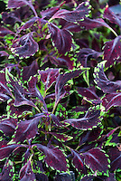 Solenostemon 'Creepy Crawly' (Coleus