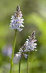 Heath Spotted Orchid, Dactylorhiza maculata, Hothfield Heathlands, Kent UK, Kent Wildlife Trust
