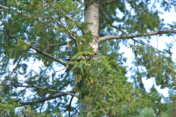 Endangered Thick-billed Parrots, Rhynchopsitta pachyrhyncha, feeding on pine cones; Sierra Madre Occidental, Chihuahua, Mexico