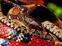 Fer de Lance, Coral Snake
