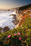 South African ice plants, non-native, along the rugged coast, Andrew Molera State Park