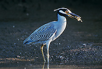 Yellow-crowned Night-Heron, Nyctanassa violacea, adult with crab, Ding Darling National Wildlife Refuge, Sanibel Island, Florida, USA
