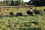 Black hebridean sheep conservation grazing water meadow, Sutton, Suffolk, England, UK
