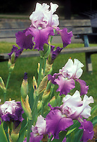 Iris Gay Parasol or similar bearded