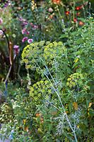 Anethum graveolens, Dill flowering umbel seed head in Yanker-Hansen garden