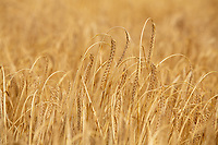 Winter Barley fit to harvest<br /> &copy;Tim Scrivener Photographer 07850 303986<br />      ....Covering Agriculture In The UK....