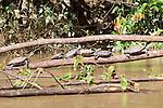 Yellow-spotted River Turtles, Tiputini