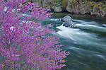 Sierra National Forest, CA<br /> Flowering redbud (Cercis canadensis) on Merced River near Bryceberg, Merced River Canyon