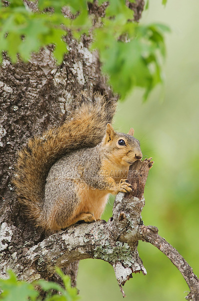 Eastern Fox Squirrel, Sciurus niger, adult in tree, Uvalde County, Hill Country, Texas, USA, April 2006